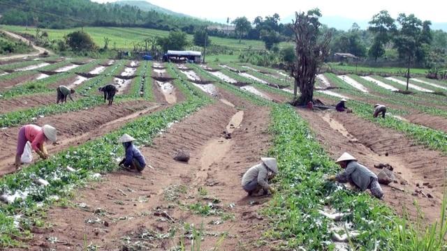 Đa phần dưa hấu trồng chủ yếu xuất bán qua thị trường Trung Quốc, nên chúng ta bị động với giá cả.