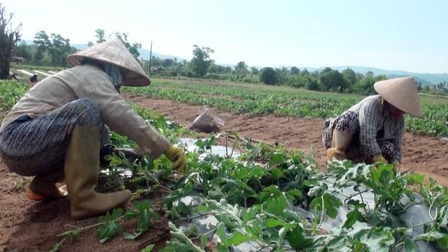 Mặc cho giá dưa hạ thấp nhiều nông dân vẫn quyết định tiếp tục đầu tư trồng dưa