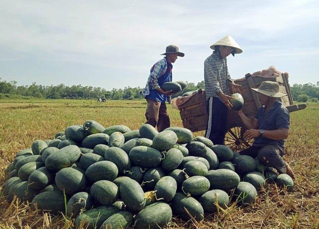 Dưa hấu tại Quảng Nam xuất bán chỉ từ 1.000 – 1.300 đồng/kg (ảnh C.Đ)
