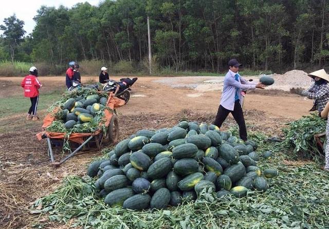 """Dưa hấu tại Quảng Ngãi chờ """"giải cứu"""" (ảnh Quốc Triều)"""