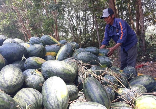 Một lượng nhỏ dưa hấu được thương lái thu mua với giá 1.200 - 1.300 đồng/kg, với giá này người nông dân chỉ thu về vừa đủ chi phí đầu tư