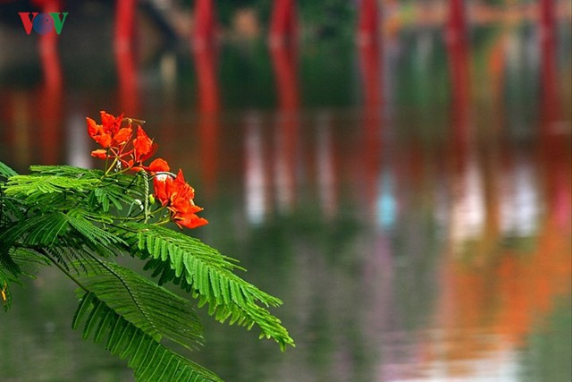 Hoa phượng thắp lửa bên Hồ Gươm - 9