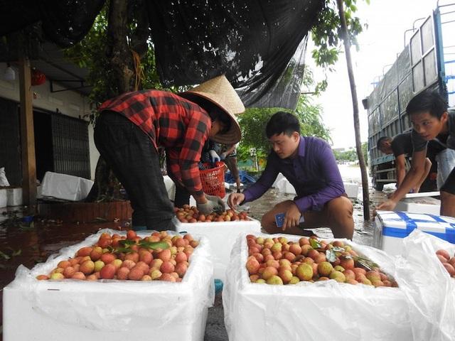 Vải thiều Bắc Giang đang vào chính vụ, gần 1000 thương nhân đổ về thu mua.