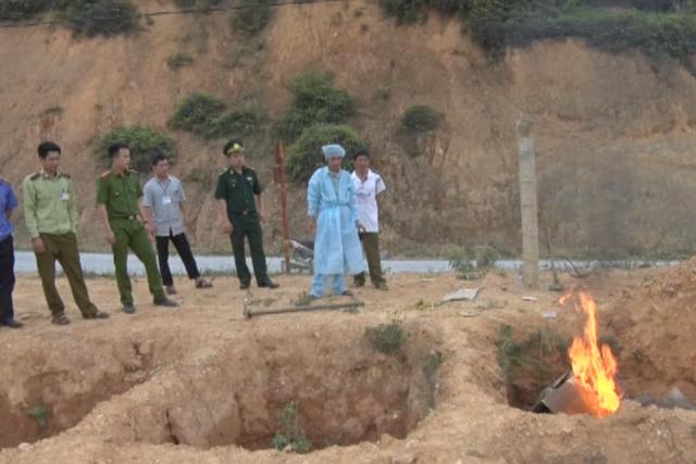 Lực lượng chức năng đang tiêu hủy lợn nhập lậu từ Trung Quốc vào Việt Nam. Ảnh: Thu Hằng