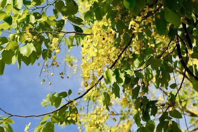 Hoa bò cạp vàng hay còn gọi là hoa muồng hoàng yến, thuộc phân họ Vang của họ Đậu (Fabaceae).