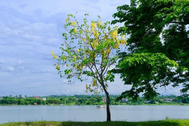 Loài hoa này còn được biết đến là Quốc hoa của đất nước Thái Lan.