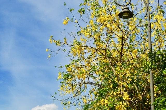 Dọc các tuyến đường trong thành phố Huế như Bến Nghé, Phan Bội Châu, Ngô Quyền, Lê Huân,… không khó để bắt gặp những dải hoa bò cạp vàng rực rỡ.