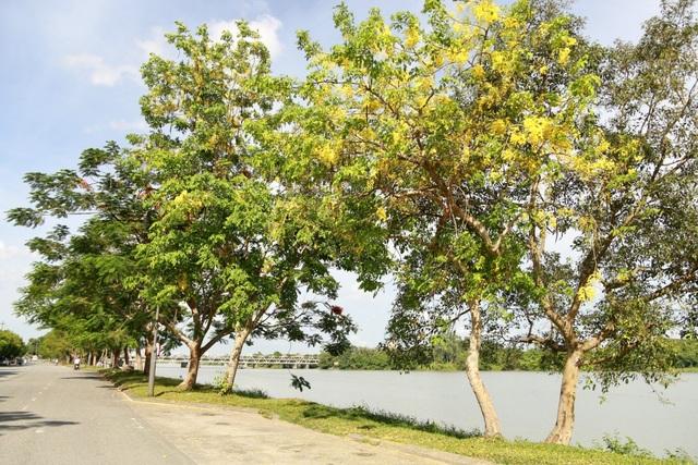 Không những chỉ được trồng làm cảnh, loài cây này còn được dùng chữa các chứng bệnh như sốt cao, cảm lạnh, rối loạn đường ruột, viêm khớp, táo bón, các dạng xuất huyết hoặc chảy máu, các rối loạn tim mạch, các bệnh thần kinh, chứng thừa axit trong dạ dày,…