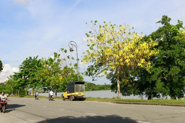 Những cây bò cạp vàng nở đầy hoa