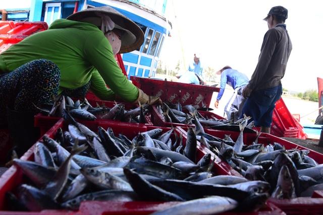 Giá cá hiện đang ở mức 35.000 đồng/kg, tăng hơn 10.000 đồng/kg so với các năm trước