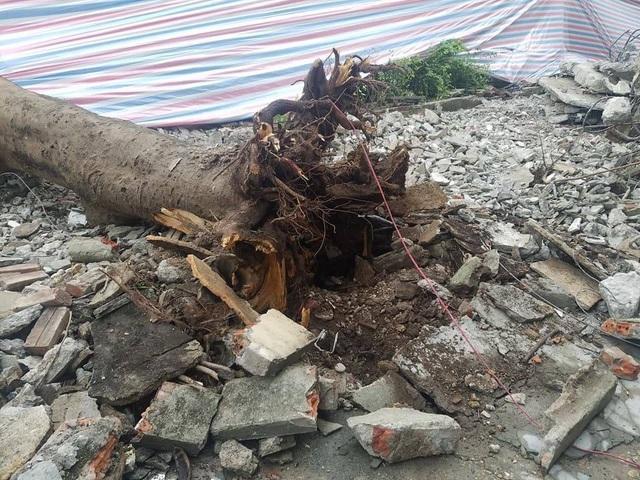 Phần rễ cây bị bật khỏi mặt đất.
