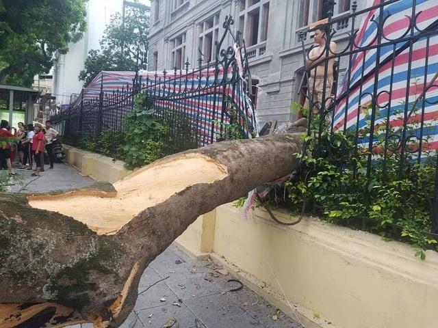 Phần thân cây phượng đổ từ phía trong công trình đang xây dựng ra ngoài đường.