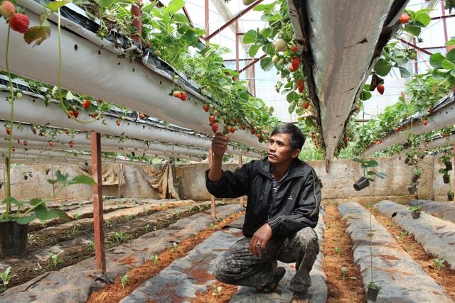 Anh Nguyễn Thanh Trúc bên vườn dâu tây của gia đình mình
