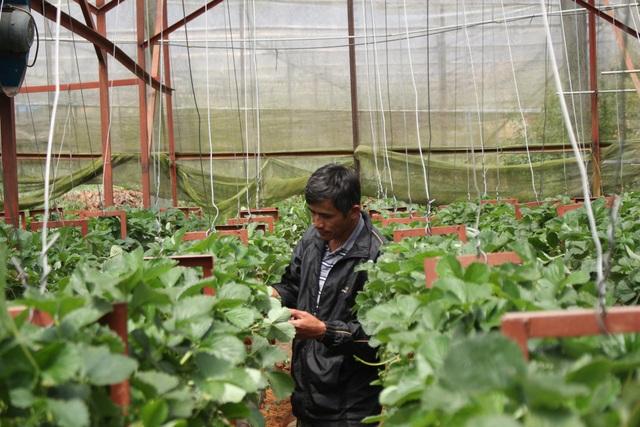 Với việc treo cây dâu lơ lửng bằng dây cáp cho năng suất cao, giúp gia đình anh Trúc thu về hàng tỷ đồng mỗi năm