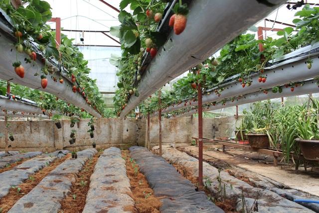 Với cách trồng dâu khác lạ này việc chăm sóc dâu, hái dâu dễ dàng hơn
