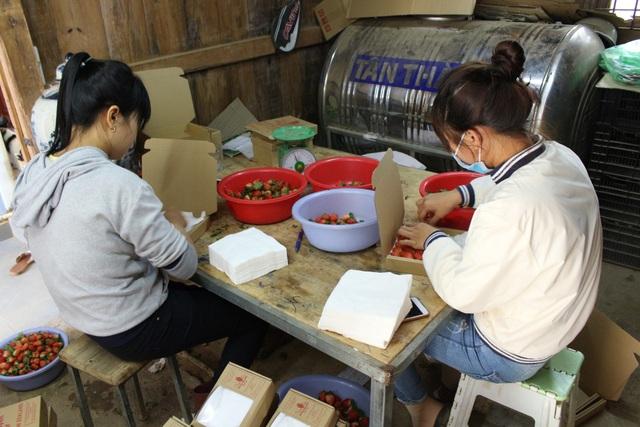 Sau khi hái dâu vào buổi sáng, công nhân sẽ phân loại và đóng hộp gửi đi các thị trường