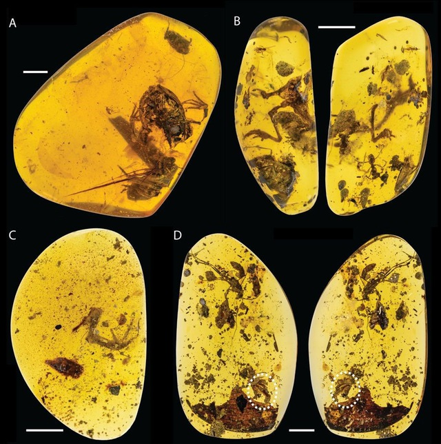 Ảnh bốn mẫu vật hóa thạch ếch - Ảnh từ Lida Xing.