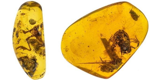 Phát hiện ếch bị mắc kẹt trong hổ phách 99 triệu năm - 1
