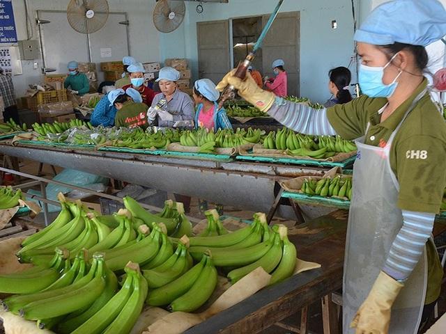 Thị trường Mỹ tiêu thụ nhiều mặt hàng nông sản của Việt Nam. Trong ảnh:Đóng gói trái cây xuất khẩu sang Mỹ. Ảnh: QH