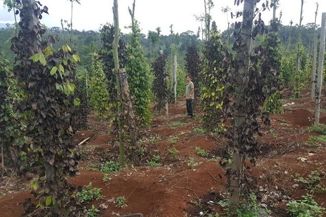 Vườn tiêu của người dân bị kẻ gian cắt gốc gây thiệt hại hàng trăm triệu đồng