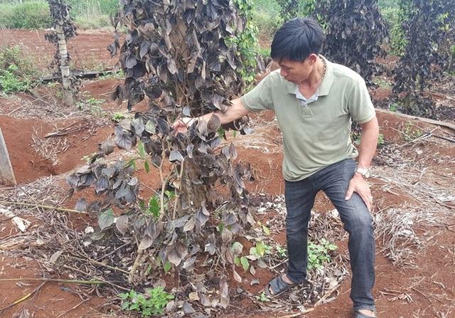 Những cây tiêu đã phủ trụ của gia đình anh Nguyễn Văn Hoàng bị phá hoại