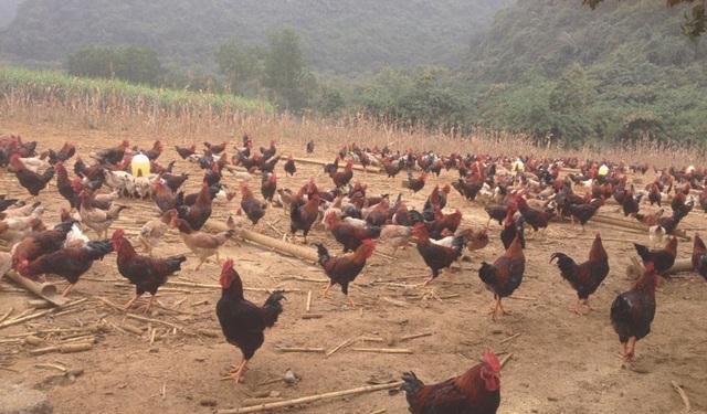 Anh Hòa trúng đậm vì phi vụ nuôi gà ri mận bán dịp Tết năm ngoái