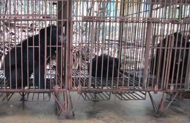 Trên địa bàn tỉnh Thanh Hóa có 4 cơ sở nuôi nhốt gấu