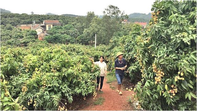 Vải thiều chính vụ tại Bắc Giang dự kiến thu hoạch từ ngày 10/6/2018.