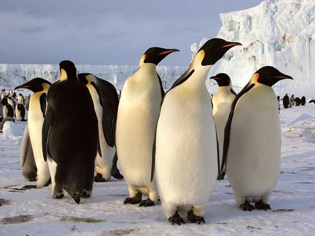 Chim cánh cụt phân biệt nhau bằng cách nào? - 1