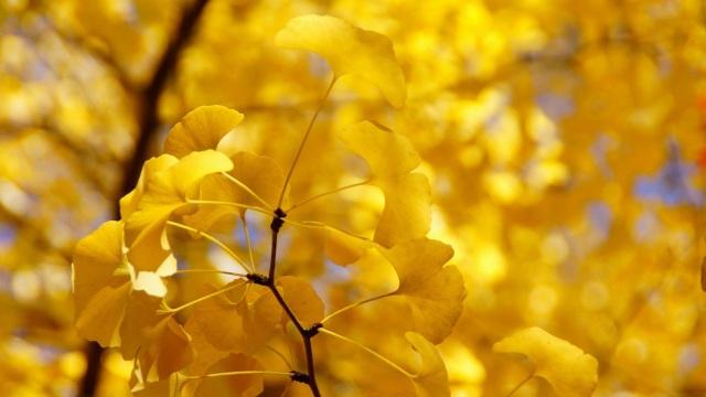 Cây ngân hạnh (bạch quả) là thực vật đơn tính khác gốc, nghĩa là chúng chỉ là cây đực hoặc chỉ là cây cái.