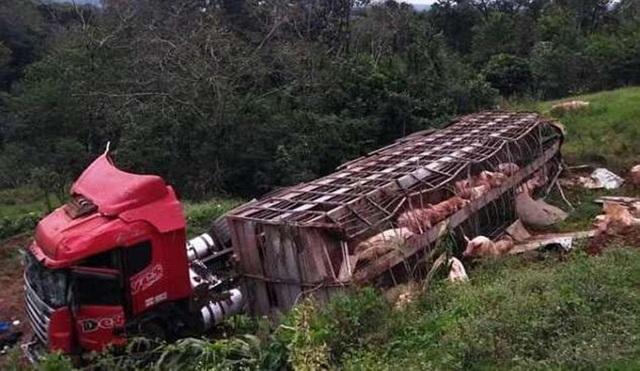 Hơn 100 con lợn đã văng ra khi xe tải bị trượt bánh và lật nhào