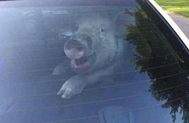Lợn được nhét vào ghế sau ô tô