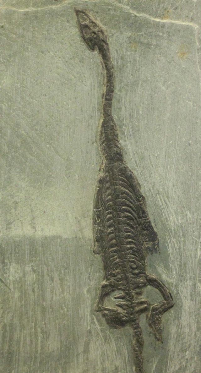Hoá thạch bò sát biển (Keichousaurus hui) xuất hiện vào kỷ Trias giữa. Trong niên biểu địa chất, Trias giữa là thế thứ hai trong ba thế của Kỷ Tam Điệp.