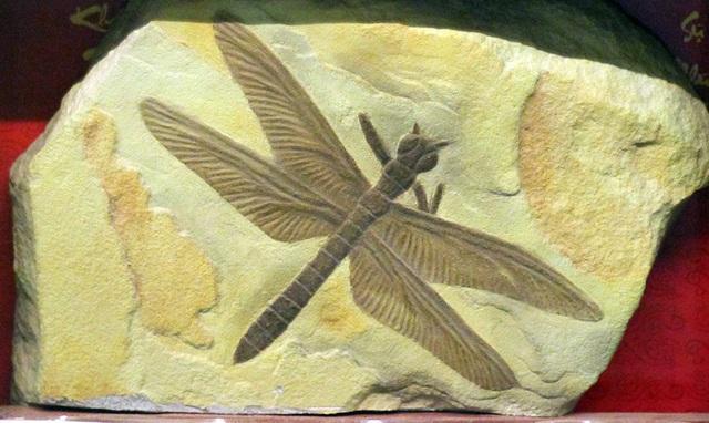 Hoá thạch đại chuồn chuồn (Meganeura) thuộc kỷ Carbon xuất hiện vào khoảng 300 triệu năm trước.