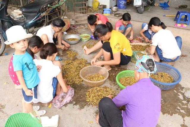 Những ngày này về xã Lê Thanh (huyện Mỹ Đức, Hà Nội) gặp nhiều nhóm người dân ngồi vặt cánh châu chấu để bán cho thương lái về thu mua.