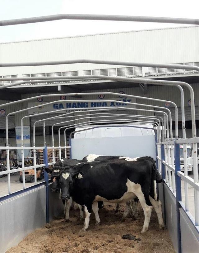 Những cô bò sữa vẫn khỏe mạnh tuy đã đi chặng đường dài vượt từ New Zealand