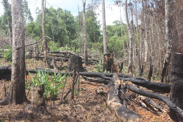 Từng ngày cây rừng bị đốt, rừng bị lấn chiếm
