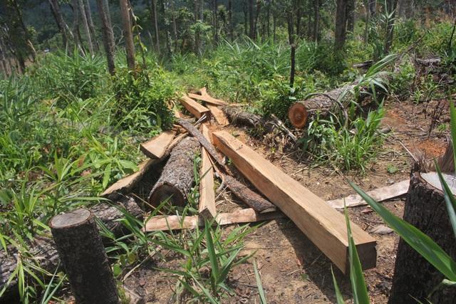 Tiếng cưa lốc thét gầm, gỗ bên con đường dẫn vào trung tâm xã ngang nhiên bị xẻ thịt