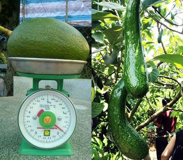 Ở Việt Nam, người nông dân có thể trồng ra giống bơ nặng tới 2kg/quả hay quả dài gần nửa mét