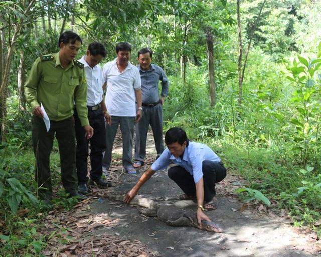 Cán bộ kiểm lâm kiểm tra sức khỏe kỳ đà hoa trước khi thả về rừng đặc dụng. Ảnh: P.Vân