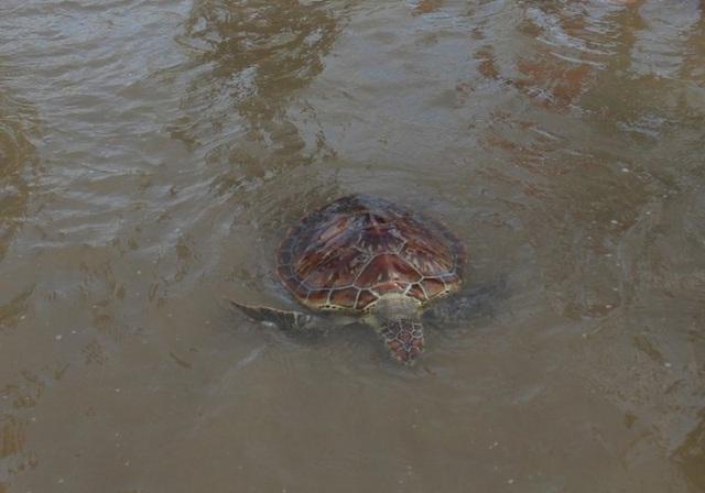 Sau khi biết đây là loài động vật quý hiếm, gia đình anh Hải đã phối hợp với UBND thành phố Sầm Sơn thả về biển
