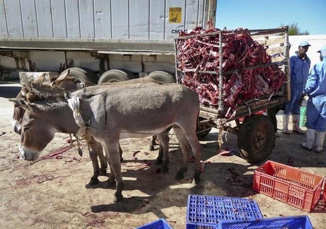 Những con lừa chuẩn bị kéo xác đồng loại ra bãi rác sau khi bị lấy da ở Naivasha - Kenya. Ảnh: Donkey Sanctuary Kenya