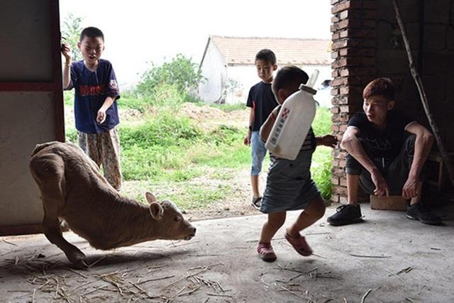 Con bê rất được bọn trẻ trong làng yêu quý