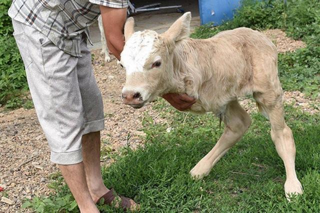 Con bê bị đột biến và chỉ có 2 chân sau