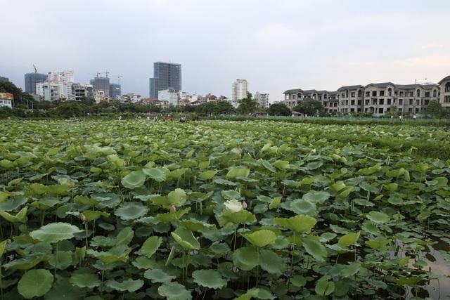 Các đầm sen Tây Hồ đã bị thu hẹp lại so với trước kia nhưng vẫn còn đủ để tạo ra một gian thiên nhiên đặc biệt giữa đô thị Hà Nội ồn ào. Thời điểm này, sen bắt đầu vào mùa hoa nở.