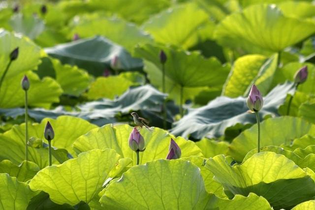 Vẻ đẹp đặc biệt của đầm sen hồ Tây mùa hoa nở - 10
