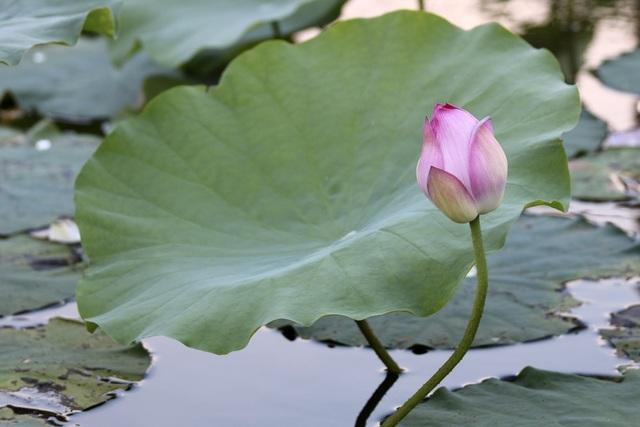 Vẻ đẹp đặc biệt của đầm sen hồ Tây mùa hoa nở - 12