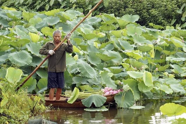 Vào mùa, doa sen được thu hái vào sáng sớm khi nắng chưa gắt, hương sen còn ủ kín trong từng cánh. Trà sen Hà Nội trước đây thường dùng hoa sen Hồ Tây để ướp nhưng nay hoa đã có từ nhiều nguồn khác.