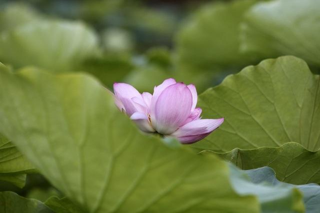Một bông sen nở trong đầm ở hồ Tây.