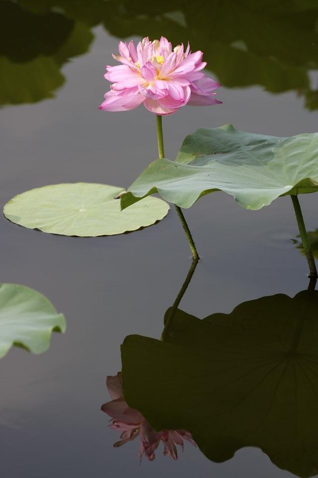 Vẻ đẹp đặc biệt của đầm sen hồ Tây mùa hoa nở - 8
